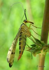 Scorpion fly (natalija2006) Tags: macro nature insect slovenia soe natalija scorpionfly naturesfinest blueribbonwinner narava supershot mywinners uelka macromarvels natureselegantshots ahqmacro amazingmacros beautifulmonsters superamazingmacrosaward npisec