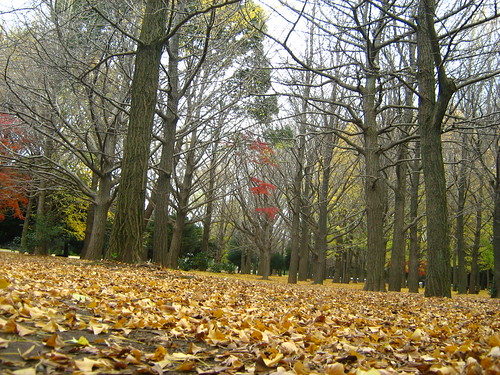 Golden leaves of ginko trees in Yoyogi Park 2