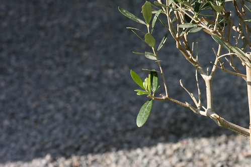 Olive tree's new growth