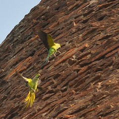 Green Parrots on Dhamek Stupa, Sarnath India (Laura Dunn-Mark) Tags: travel india green bird birds flying buddha stupa parrot varanasi 2008 parrots sarnath uttarpradesh lauradunnmark dhamek