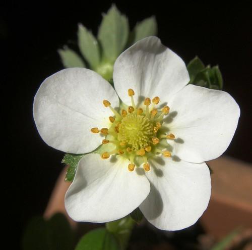 flor de frutilla 2