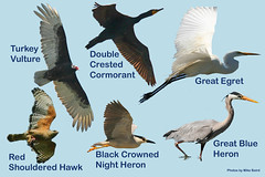 Bird Composite for Heron Roolery Kiosk, Morro Bay, CA heron-rookery-composite-more-at-morrobay.ws-8-22-05-16x11