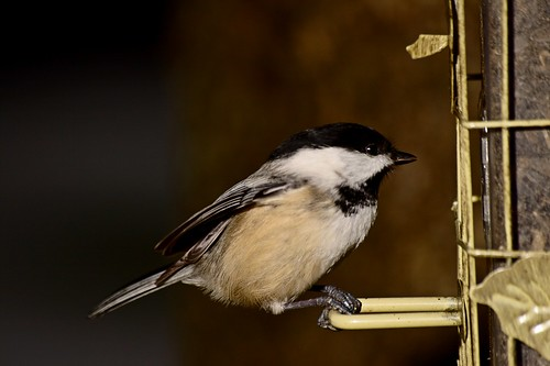 Chickadee (by John Brainard)