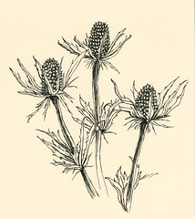 No 297 Christmas thistles (Nu Scot) Tags: nature leaves botanical sketch weed ebay gardening drawing auction foliage domestic stems bouquet household burr horticulture tone driedflowers shading cutflowers bullthistle cirsiumvulgare spearthistle commonthistle dailydraw2008
