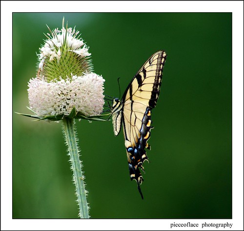 Female Eastern Tiger Swallowtail on Teasel...