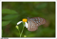 IMG_7249 (yimING_) Tags: macro hospital butterfly insect alexandra mpe65 canonmpe65 alexandrahospitalbutterflytrail trailmacroinsectcanon