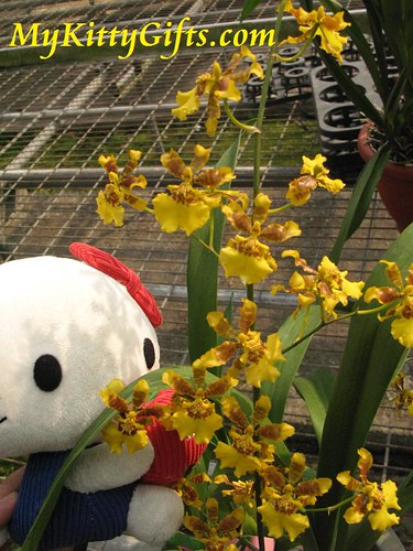 Hello Kitty's View of Yellowish Butterfly Orchids in Orchid Trip Hong Kong