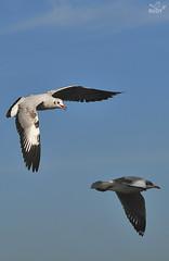 brown-headed gull (larus brunnicephalus) (punkbirdr) Tags: thailand nikon d300 audy vrnikkor80400mmf4556d brownheadedgull larusbrunnicephalus