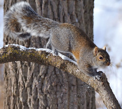 Squirrel on the run!!! (JRIDLEY1) Tags: winter snow tree squirrel searchthebest bark kensington soe bej zenfolio abigfave platinumphoto anawesomeshot theunforgettablepictures theperfectphotographer goldstaraward hawaalrayyanfav vosplusbellesphotos jridley1 jimridley dailynaturetnc09 httpjimridleyzenfoliocom photocontesttnc10 lifetnc10 photocontesttnc11 photocontesttnc12