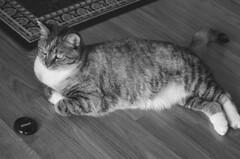 Gracie 16 July 2008 008c 4x6 B&W (edgarandron - Busy!) Tags: cats cute cat gracie tabby kitty tortoiseshell kitties tortie torbie