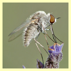 Geron gibbosus cf. (PheCrew) Tags: macro bug insect insetti phe geron soken bombyliidae senourrir