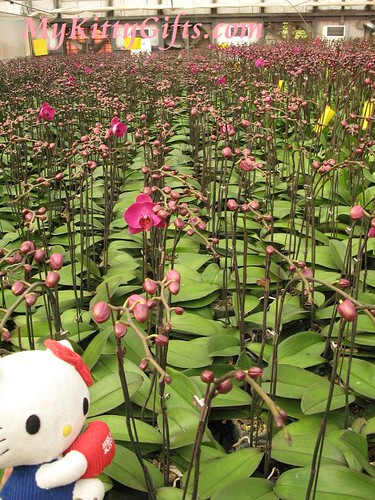 Hello Kitty Watching Red Orchid Nursery Field in Hong Kong Orchid Trip