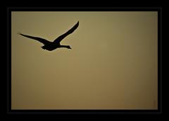Vi End (s.chauch) Tags: bird nature birds pentax sigma 300mm adobe nocrop oiseau cygne oiseaux k10 70300 cs4 destauration schauch