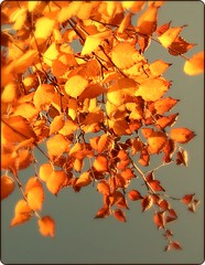 The tree of fire. (Viacreativa) Tags: uk november blue autumn trees light sky fall beautiful leaves sunshine yellow wales digital silver gold leaf day native cymru birch welsh ceredigion bigdifference picnick
