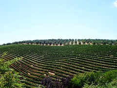 where wine is from (zack vella) Tags: africa town wine south winery rows cape