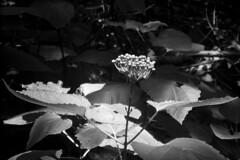 Sunbathing (Charlie_Tango) Tags: blackandwhite flower stinkweed