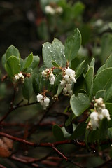 Arctostaphylos sp. (dogtooth77) Tags: california county old red tree forest giant coast big woods marin growth bark wildflowers redwood ferns muir sequoia ecosystem semperivens