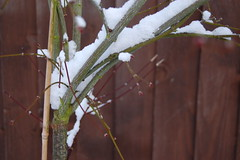 twigs of snow (Sandy..DB) Tags: winter brown snow cold green fence sticks twigs