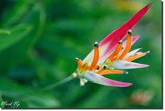 Sassy *Explore* (MarkNKL) Tags: pink orange green gardens canon botanical singapore mark sassy botanic 5d ng singaporebotanicalgardens heliconia botanics mkii singaporebotanicgardens psittacorum markng canon5dmkii heliconiapsittacorumsassy
