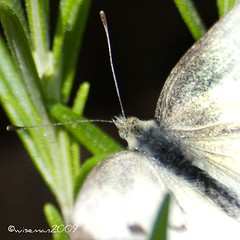 """Reals Wood White """"Leptidea reali"""" (leadvein) Tags: uk blue summer white black macro eye beautiful up closeup speed mouth butterfly garden hair insect outside countryside fly wings eyes nikon close legs drink country leg wing moth fast nectar summertime feed pollen hover flutter pollenate antenae d80 leptideareali dloat"""