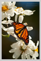 monarch004 (Rob Haskett Photography) Tags: orange white flower butterfly purple rob monarch perched 500d quarrypark haskett tepuna 55250mmefs t1i