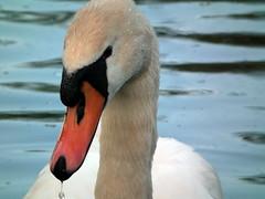 Snotty Beak! lol (johnmuk) Tags: uk england bird nature spring swan wildlife centre may fujifilm staffordshire wolseley 2011 hs10 naturewatcher