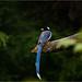 Red Billed Blue Magpie