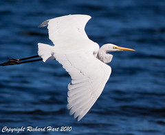 Great Egret (SillyOldBugger (in and out of internet range)) Tags: bird australian australia aves ardea queensland egret avian greategret ardeaalba lakesomerset sonydslra200 sonyalpha200 minolta3004hsg wildbirdaustralia