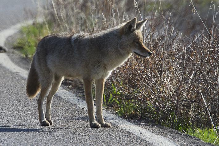 061311_coyote02