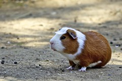Guinea_Pig_01_(Explored) (xris74) Tags: nature europe wildlife explore luxembourg bettembourg explored xris74