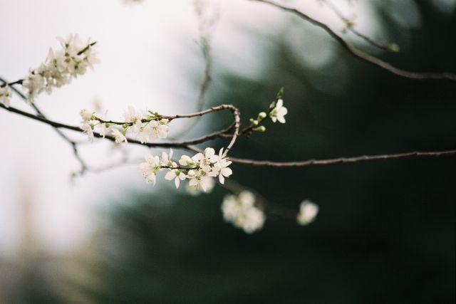 Cherry Blossom on Dublin Street