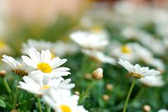 margherite (photolupi) Tags: primavera colore dof giallo trento fiori alto bianco luigi vaso trentino adige speranza margherite piazzi photolupi luigipiazzi