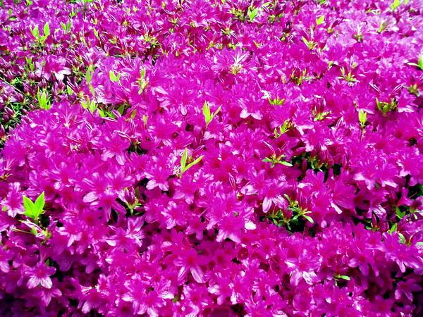Rhododendron (Yeongsanhong)-2