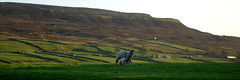 Evening shadows (Colin Paterson) Tags: yorkshiredales yorkshire walls wall walking valley uk tranquil swaledale sunset spring sheep shadows reeth picturesque pentaxk10d pentax peaceful panorama nationalpark longshadows landscape lambs lamb k10d hills hill hiking harkerside green fields evening england dales britain beautiful animal swyddefrog waliau wal cerdded cwm llonydd tawel machludhaul gwanwyn defaid dafad cysgodion cysgodau darluniaidd heddychol parcgenedlaethol cysgodionhir tirlun oen yn bryniau bryn heicio gwyrdd caeau noswaith lloegr prydain gln anifail pethaubychain saysomethinginwelsh parccenedlaethol deyrnasunedig