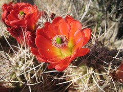 Red cactus flower (mollyali) Tags: california red cactus flower desert hiddenvalley joshuatreenationalpark