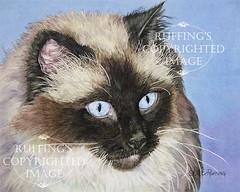 """""""Ragdoll on Blue"""" AER80 by A E Ruffing Ragdoll Cat"""