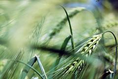 Crop (Frau Koriander) Tags: nature june juni spring corn cornfield dof cereal nikond50 crop crops grains 2008 cereals nikkor60mmf28 korn frhling kornfeld getreide gerste nikkoraf60mm28