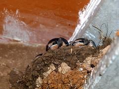 Nido Golondrinas P6013281o (Miquel Salas   EA6QN) Tags: blanca ave pajaro nido golondrinas alqueria a3b orenelles oranellas
