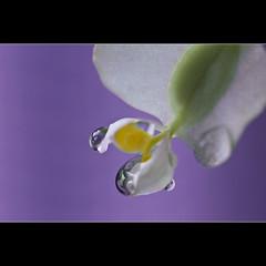 Drops (Sergio Verrecchia - Digital Imaging Technician) Tags: flower macro drops nikon searchthebest acqua soe gocce supershot shieldofexcellence anawesomeshot diamondclassphotographer flickrdiamond nikond40x d40x exemplaryshots goldstaraward sergioverrecchia