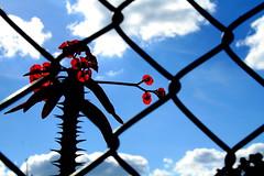 pela tela... (Fabiana Velso) Tags: azul flor cu nuvens vemelho tela proteo frenteafrente fabianavelso