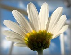 Margerite - Leucanthemum vulgare (Batikart) Tags: blue summer sky white plant flower macro nature closeup contrast canon germany garden geotagged deutschla