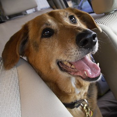 Who can resist this face? (Valerie Craig (Val Ann)) Tags: dog car happy newjersey ride nj rocco keansburg valann ulroccomg0788 valann422