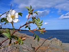 Sun bath (Fozzman) Tags: sea flower norway grimstad