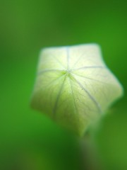 Chinese bell flower (bud) (tanakawho) Tags: plant macro green nature dof bokeh line bud shape pentagon chinesebellflower greenongreen tanakawho