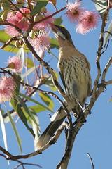 Spiny-Cheeked Honeyeater (mrdehoot) Tags: bird robe australia honeyeater southaustralia australianbirds floweringgum acanthagenysrufogularis spinycheekedhoneyeater