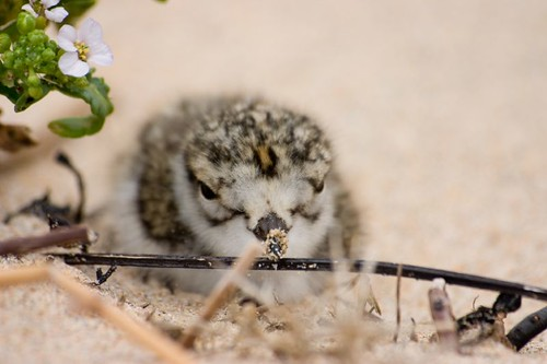 Ringed plover chick 2