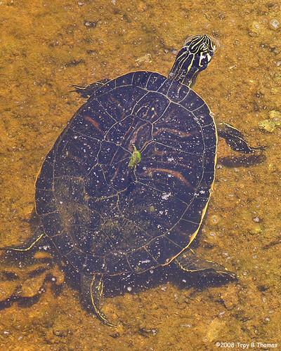 Turtle_20080705