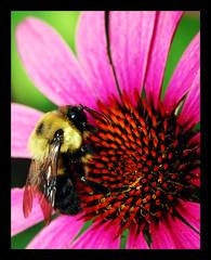 The Collector (Jerrica Raglin) Tags: pink red orange black flower color macro green eye yellow digital insect petals wings purple echinacea bee bumblebee abg stamen coneflower pollen atlantabotanicalgarden antennae anther purpurea platinumheartaward