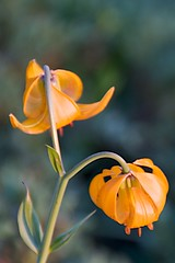 Tiger Lily - a few of them left
