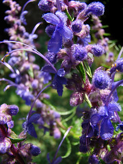 California native plants - Trichostema lanatum - Woolly Blue Curls (mondomuse) Tags: blue venice summer usa flower garden losangeles purple violet flowering organic southerncalifornia shrub perennial trichostemalanatum woollybluecurls californianative lamiaceae droughttolerant mintfamily fbg califorianative